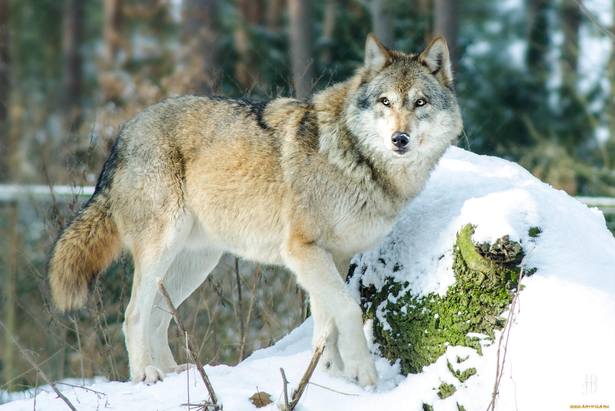 сибирский волк зимой фото абсолютно важно